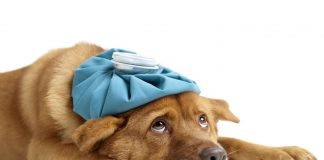 Šuns imunitetas